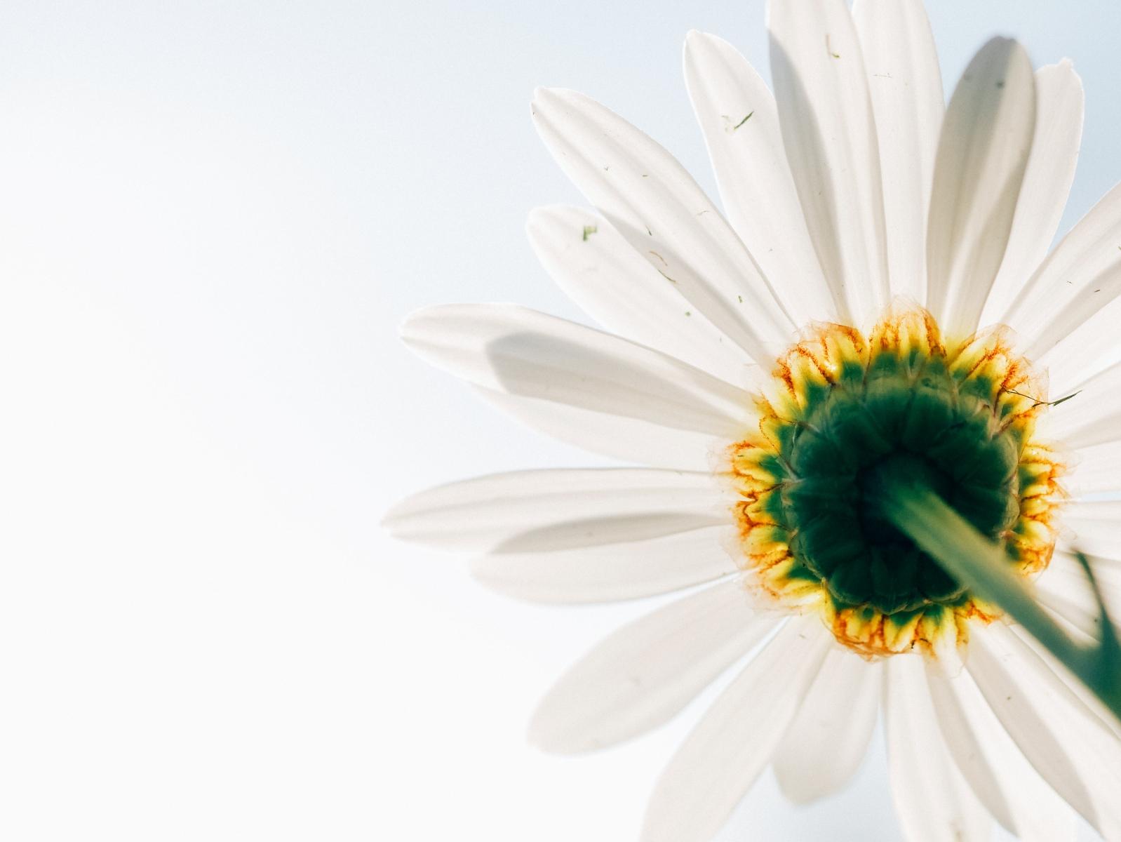 daisy-801813