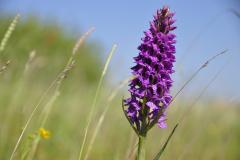 Orchidee, Lauwersoog