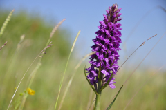 Gevlekte orchis, Lauweroog